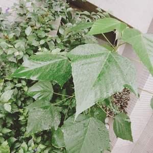 有人知道這葉子很大一片的是什麼植物嗎?