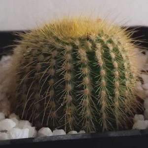 Me ayudan a identificar este cactus, gracias 💚