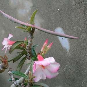 沙漠玫瑰頂部長出一個橫條物 摸起來也不像是莖部的粗糙感 而是光滑感 請問這是什麼呢?