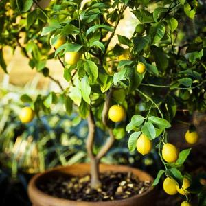 How to Grow a Lemon Tree in Pot   Care and Growing Lemon Tree