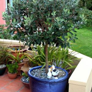 How to Grow Feijoa   Growing Pineapple Guava & Care