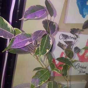 Ficus benjamina onerror=