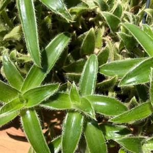 Cyanotis somaliensis