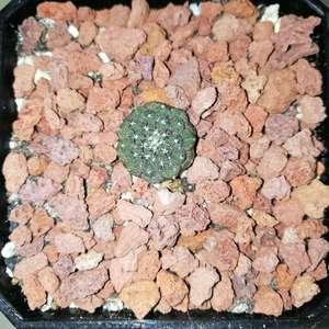 Copiapoa hypogaea Lizard Skin 蜥蜴皮 onerror=