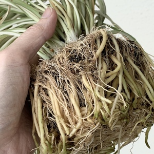 It's completely root bound. No wonder it stopped growing. Time to repot and give it some fresh soil.