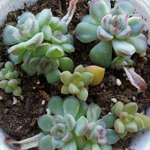 叶插,播种