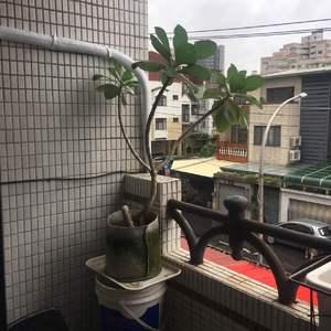 水需要天天澆 葉子就都保持精神不錯 是挺好種的植樹