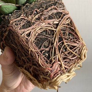 It's root bound. Time to repot.