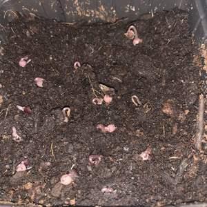 自己收的种子发芽率还挺高的😸😸😸  原来发芽后先长小萝卜头的,涨姿势了