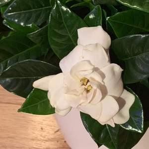 Gardenia 桅子花