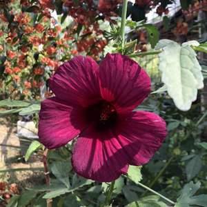 """我新添加了一棵""""紫葵""""到我的""""花園""""。"""