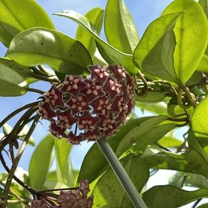 Flowering Hoya