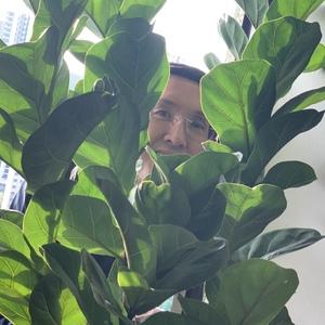 Ficus Lyrata (Fiddle Leaf Fig)
