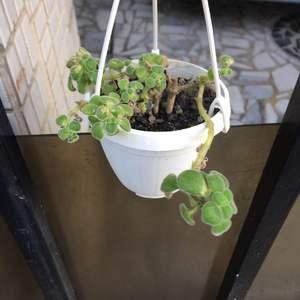 小閔把這盆送回來 我把他移到小盆再種看看 莖上有些許小芽點 也許是能種活吧