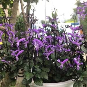 """我新添加了一棵""""紫鳳凰""""到我的""""花園""""。"""
